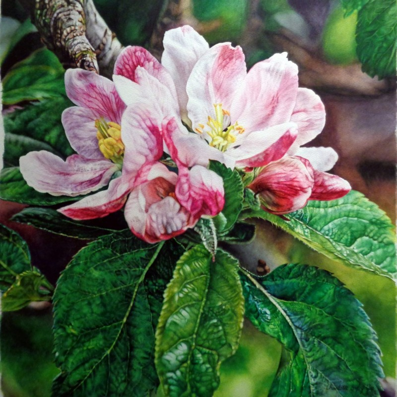 Pink Crabapple Blossoms By Charlotte Bixby Yep, Watercolor